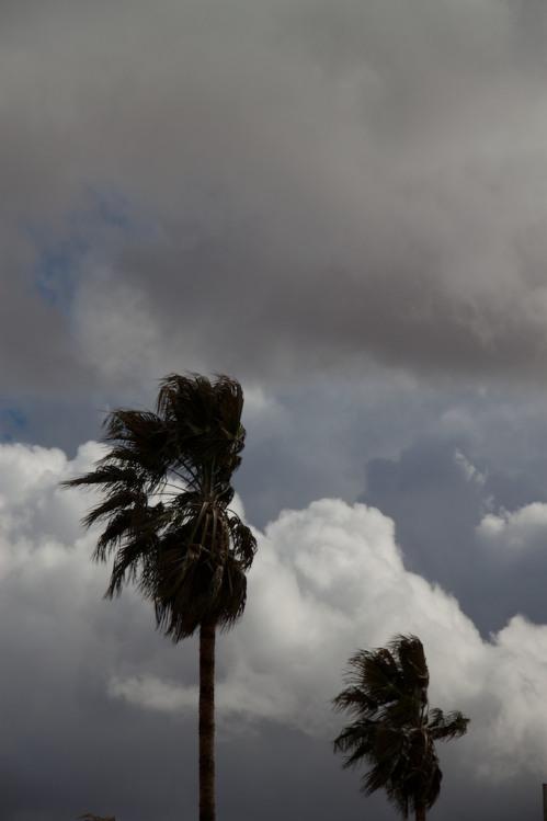 Palms in Rain
