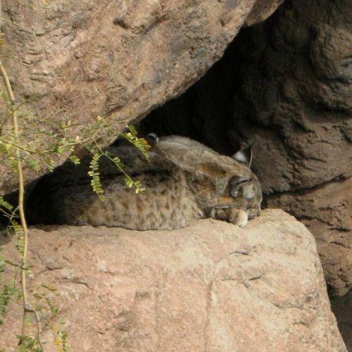 Bobcats Nap© AME