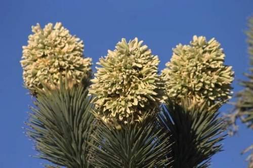Joshua Tree Blooms